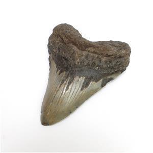 """5"""" Megladon Tooth Natural"""