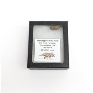 Boxed Triceratops Tooth