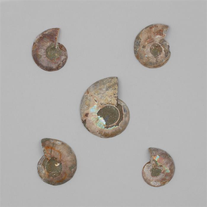 245cts Ammonite Multi Shapes Fancy Cabochons.